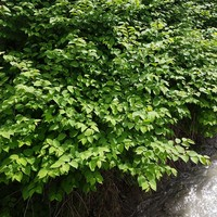 Cork social housing project delayed over Japanese knotweed