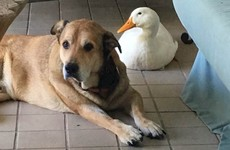 This duck cheering up a heartbroken dog is melting hearts on Facebook