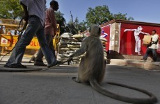 Commonwealth Games unveil secret policing weapon... monkeys