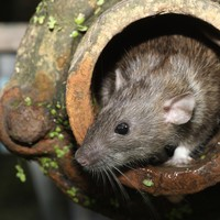 Reports of Dublin rat sightings 'something we'd better get used to'
