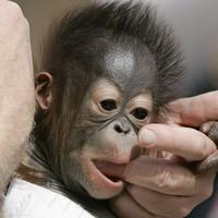 It's Friday, so here's a slideshow of orangutans from around the world