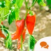 How to get red hot chilli peppers to behave in your garden