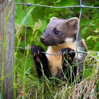 Suggestion pine martens will attack young children 'alarmist and irresponsible'
