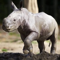 Rhino from an under-threat species is born at Dublin Zoo