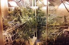 Two women detained as Gardaí seize €150,000 worth of cannabis