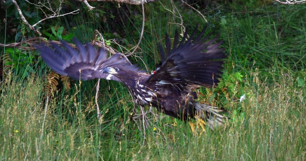 Once extinct white-tailed eagle chicks fly the nest in three counties