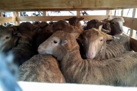 Lambs in crates transported by Singapore Mini Environment Services.