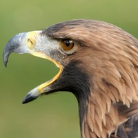 Dutch police have started using eagles to take down drones