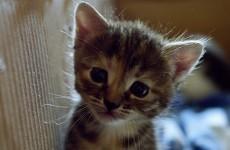 Burglars kill 10-week-old kitten in a microwave