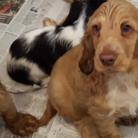 Designer puppies rescued from horsebox and van at Dublin Port