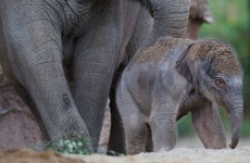 It took a 22-month pregnancy but Dublin Zoo has a new elephant calf