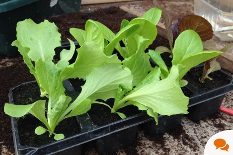 Some of Michael's lettuce