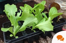 It's hard to find great quality lettuce in supermarkets - but it's really easy to grow yourself