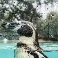 Fears for South African penguin 'freed' from aquarium