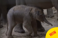 People are loving this video of Dublin Zoo's newest baby elephant taking her first steps