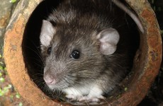 'Significant' HSE staffing problems caused delays dealing with Dublin rat infestations