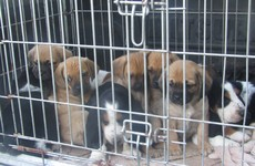 8-week-old puppies seized being exported to Scotland