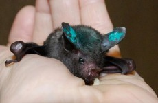 The cutest little... bat: check out this orphaned short-tailed fruit bat