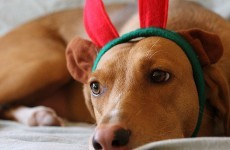 Christmas present dogs 'a worry for sheep farmers'