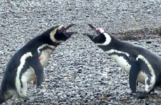 This video of three penguins having insane relationship drama is taking over the internet