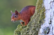 Leprosy found in Irish red squirrels