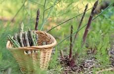 Spears at the ready: How to grow asparagus
