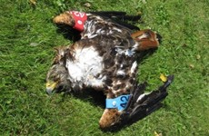 Surge in number of birds of prey being 'poisoned and persecuted'
