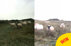 Stop all mannequin challenges, these sheep in Donegal have made the best