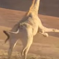 A giraffe kicked a lion's arse on Planet Earth last night, and nobody could cope