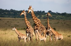 How many giraffes are left in the world? It's the week in numbers
