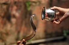 Professional snake catchers: How this Indian tribe saves lives by harvesting venom
