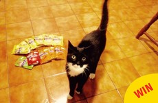 The amazing story of Henry, The Devil Cat of Fairview