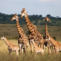 Experts warn giraffes face 'silent extinction' as population substantially drops