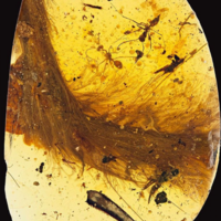 For the first time ever, a dinosaur tail has been found encased in amber