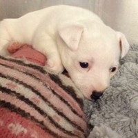 A little puppy was handed in to the lost and found at Dublin Airport today