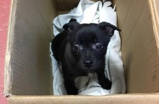 DSPCA renews appeal to public as Christmas present puppy is handed in already