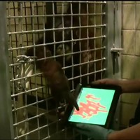 Apps for Apes brings iPads to Orangutans