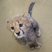 Cheetahs are heading towards extinction thanks to human impact