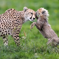 People in the UAE will no longer be able to keep cheetahs and tigers as pets
