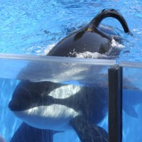 Tilikum, SeaWorld whale that killed trainer, dies