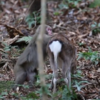 Research reveals 'highly unusual' behaviour of male monkey trying to have sex with female deer