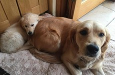 These adorable Irish puppies with Dogs for the Disabled now have their own Facebook page