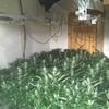 Gardaí seize 175 cannabis plants from Leitrim growhouse