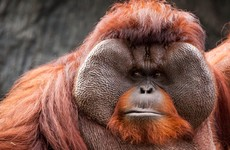 There's 'Tinder for orangutans' now