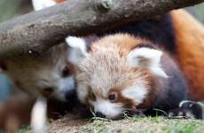 It's Friday so here's a slideshow of red pandas from around the world