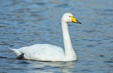 Sixth case of bird flu in Ireland found in whooper swan