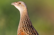 New plan to stop extinction of corncrake in Ireland