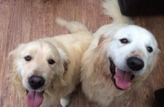An Irish charity is looking to rehome these Retrievers in pairs because 'they can't be split'