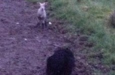 Firefighters used phone app with sheep noises to save lamb stuck in drain
