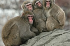 "Japanese zoo culls 57 snow monkeys for being crossbred with an ""invasive alien species"""